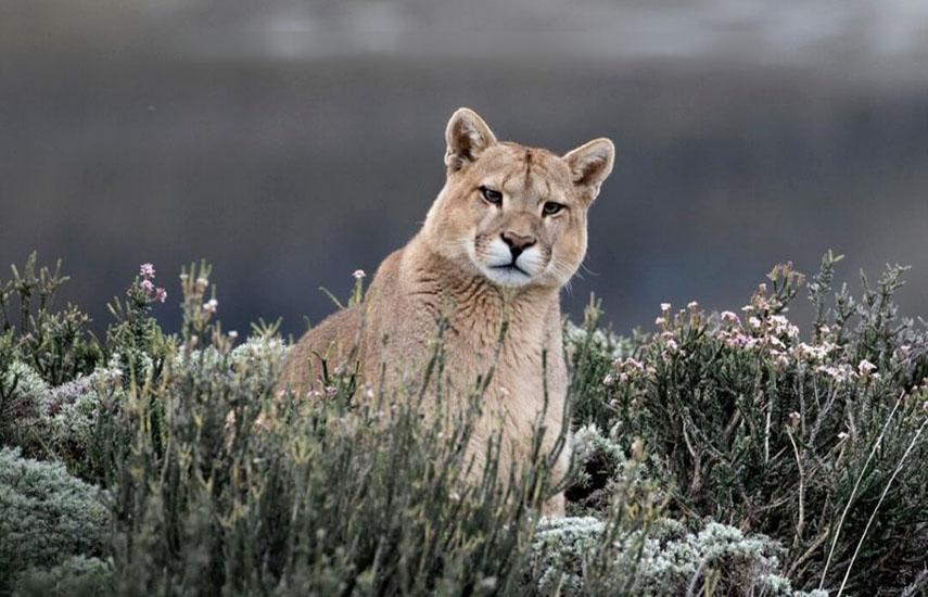 Los Andes salvajes capta comportamientos animales nunca antes vistos en alta definición 4K. (Foto: Nicolás-Lagos)